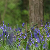 Photo of bluebells in Savage's Wood